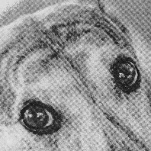 Image of greyhound's eyes